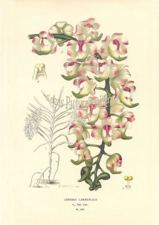 Orchid, Aerides Lawrenceae